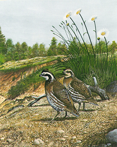 Bobwhite Quail on gravel