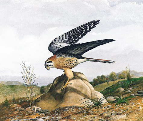 Kestral on Rock